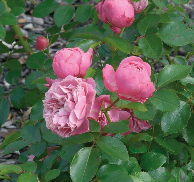 Klaserose, Høyde 30 cm, Rosa