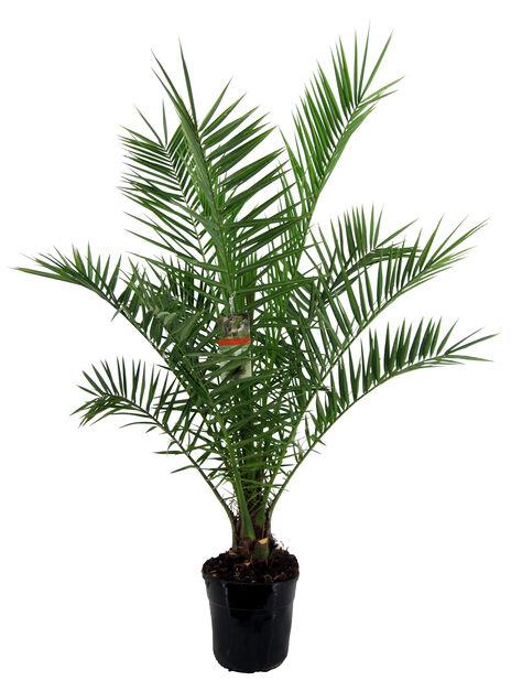 Kanaripalme, Høyde 140 cm, Grønn
