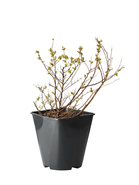 Bjørkebladspirea 'Tor', Ø22 cm, Hvit