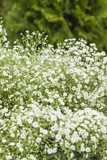 Brudeslør 'Festival White', Ø11 cm, Hvit