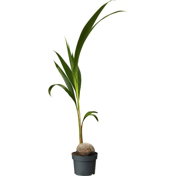Kokospalme, Høyde 110 cm, Grønn