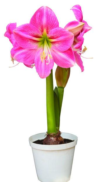 Amaryllis 2-grenet 14 cm