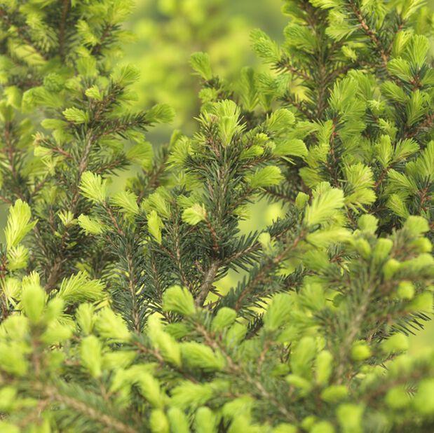 Serbergran, Høyde 25 cm, Grønn