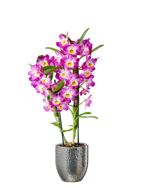 Dendrobium orkidé 'Wonderful Lilac'