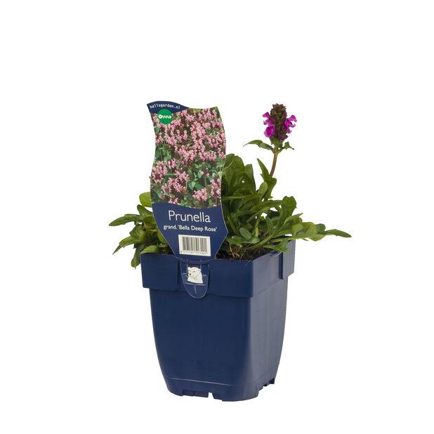 Storblåkoll 'Bella Deep Rose', Ø11 cm, Rosa