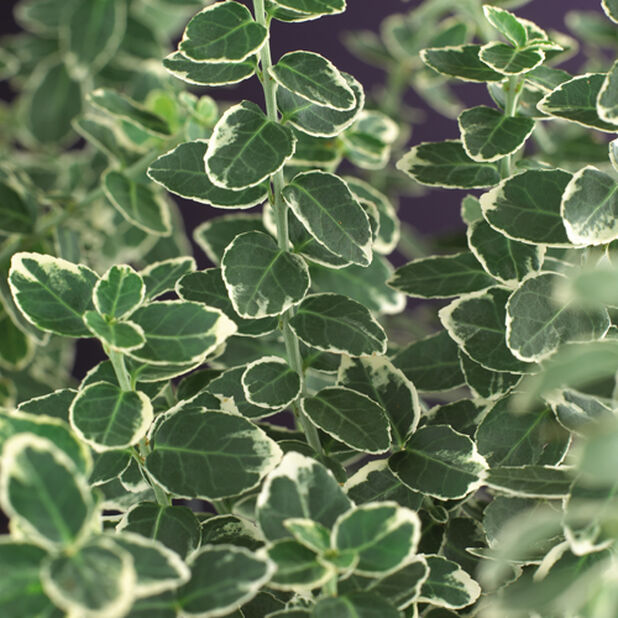 Klatrebeinved 'Emerald Gaiety', Høyde 35 cm, Grønn