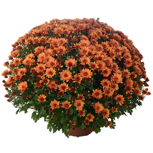 Frilandskrysantemum, Ø19 cm, Oransje