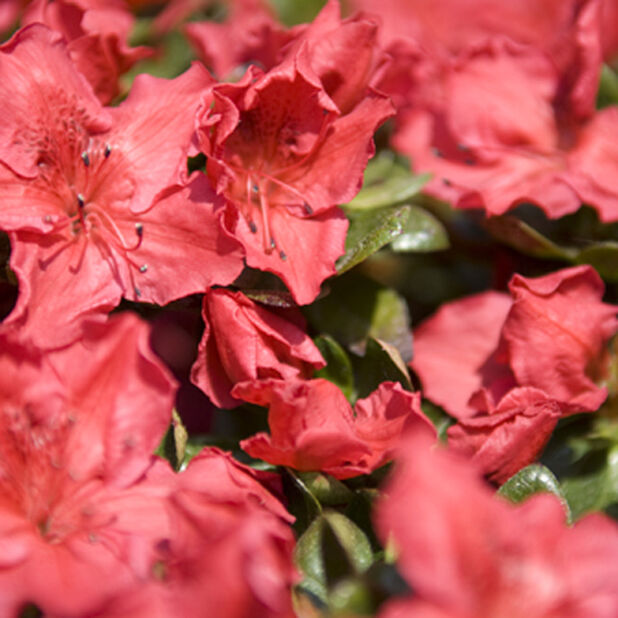 Rododendron 'Orange Beauty', Ø23 cm, Oransje