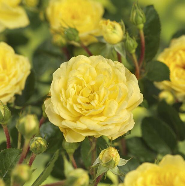 Terass rose, Høyde 30 cm, Gul