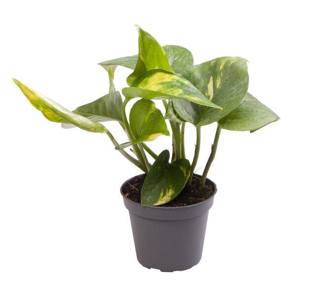 Gullranke mini, Høyde 10 cm, Grønn