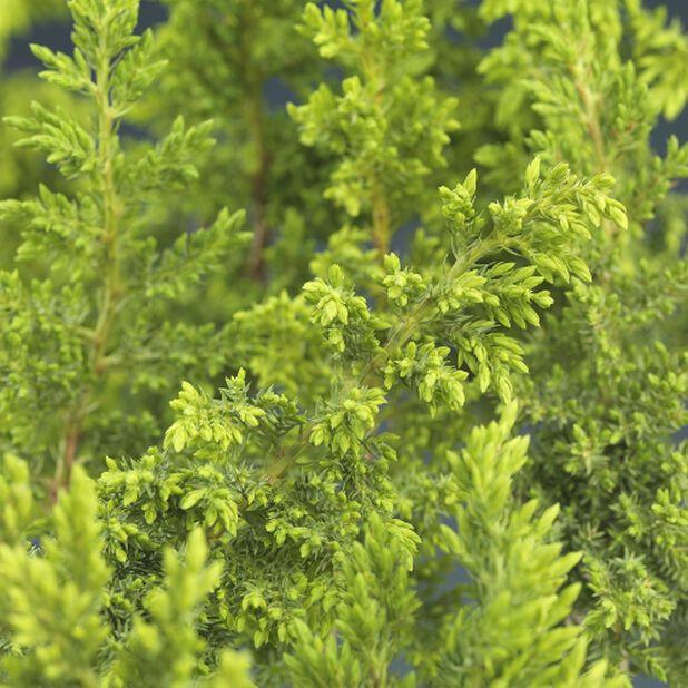 Flateiner 'Nana', Ø22 cm, Grønn