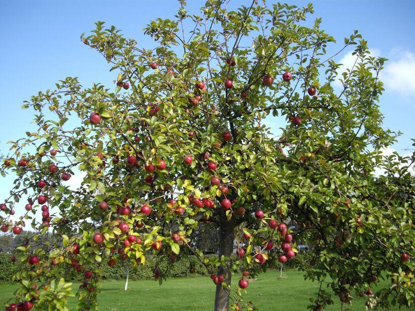 Familietre eple 7L