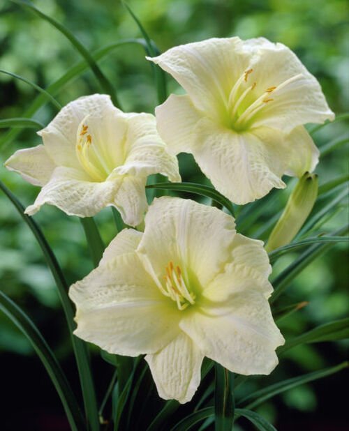 Daglilje, Høyde 15 cm, Hvit