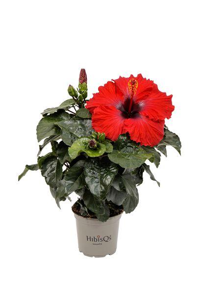 Hawaiirose, Høyde 25 cm, Rød