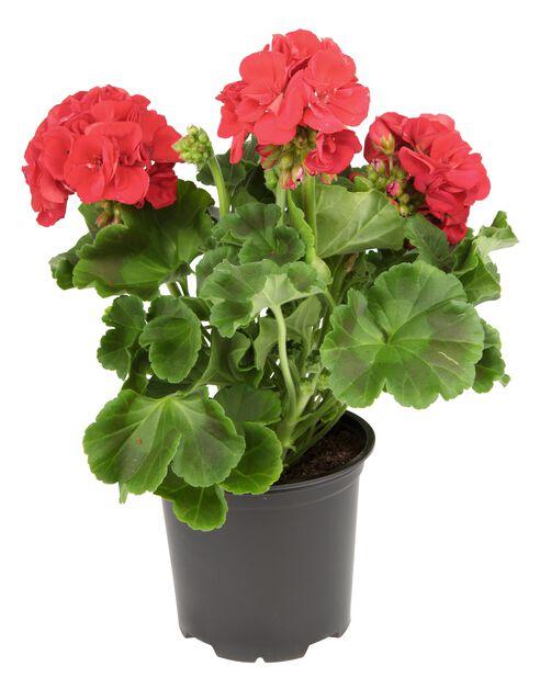 Pelargonia rød 10,5 cm