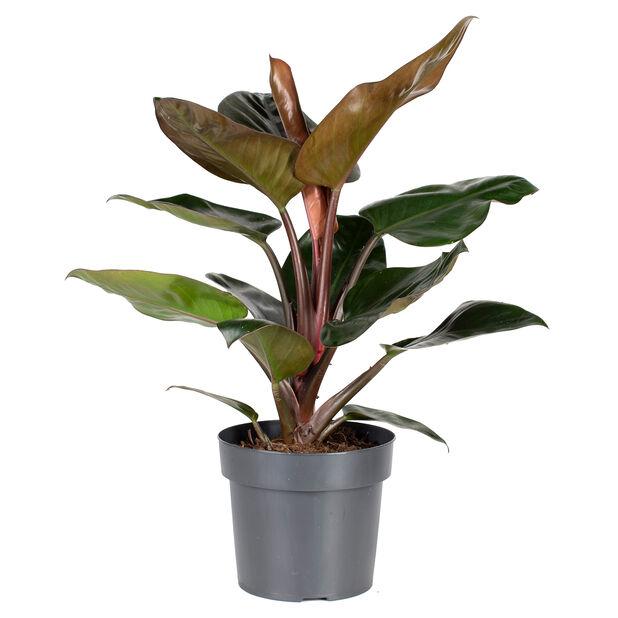 Philodendron 'Rojo Congo', Høyde 55 cm, Grønn