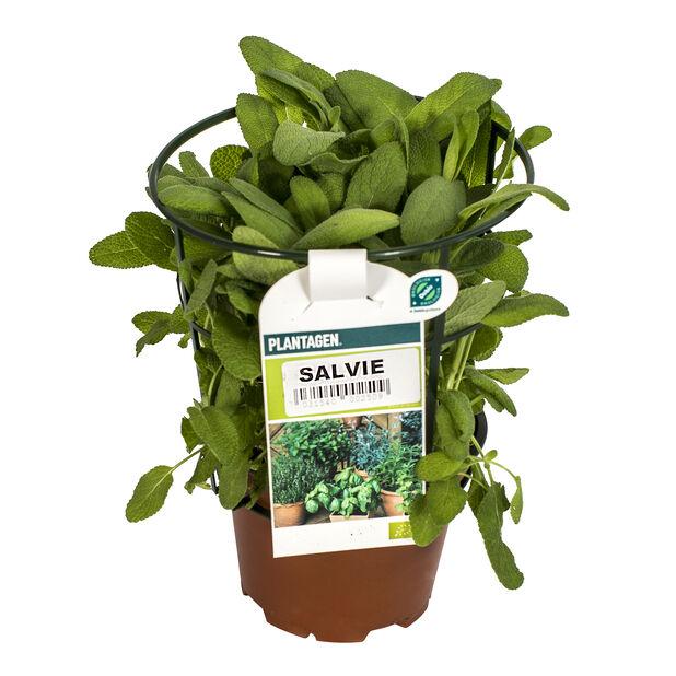 Salvie, Ø12 cm, Grønn