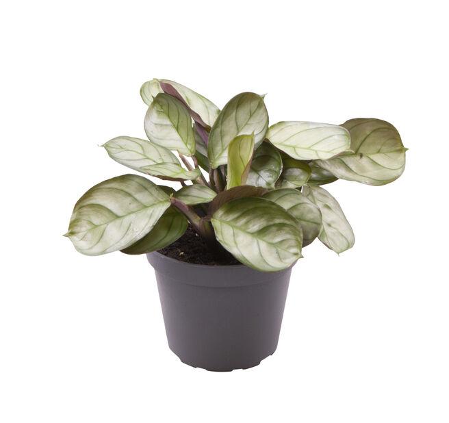 Bønneplante mini, Høyde 10 cm, Grønn