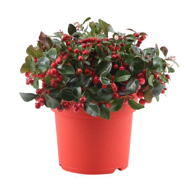 Krypberglyng 'Big Berry', Ø17 cm, Rød