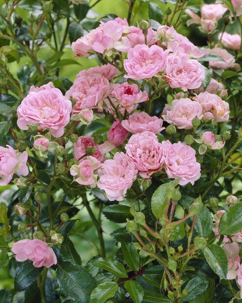 Markdekkende rose