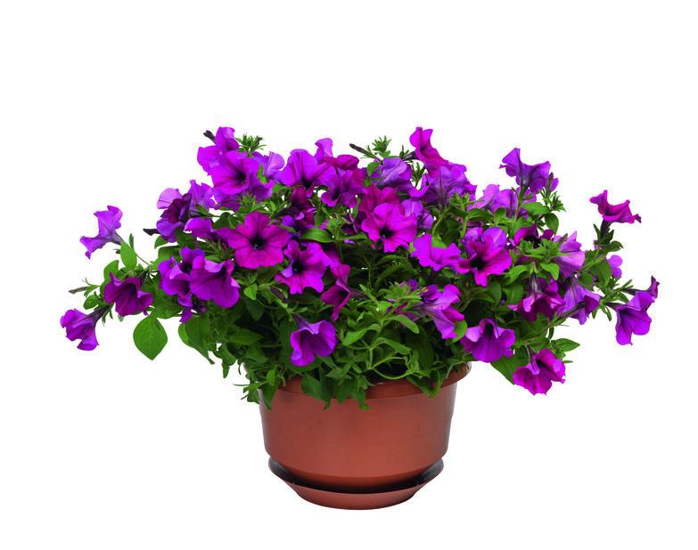 Petunia i ampel, Ø25 cm, Lilla
