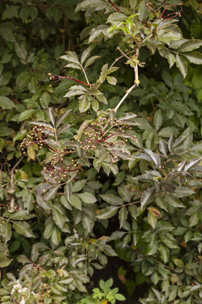 Svarthyll, Høyde 40 cm, Hvit