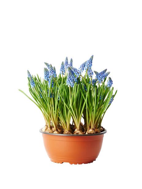 Perleblomst, Ø23 cm, Blå