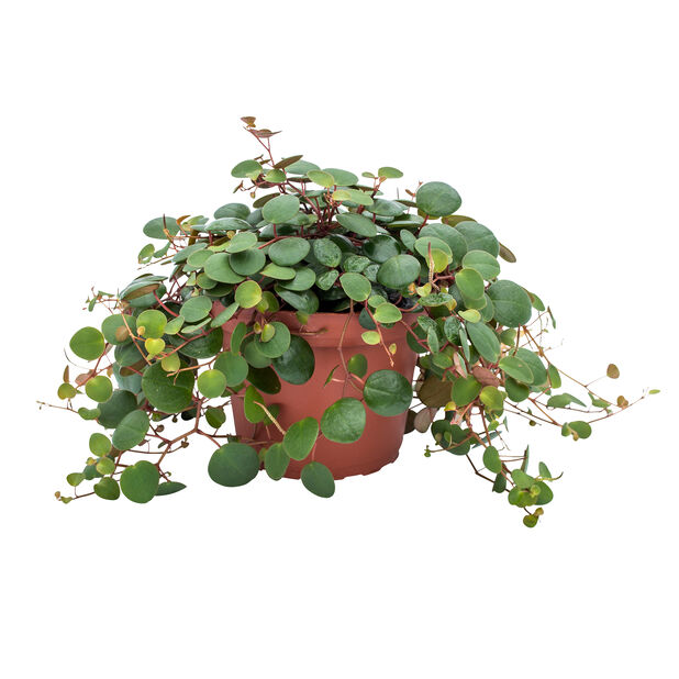 Rotterumpe 'Pepperspot', Høyde 25 cm, Grønn