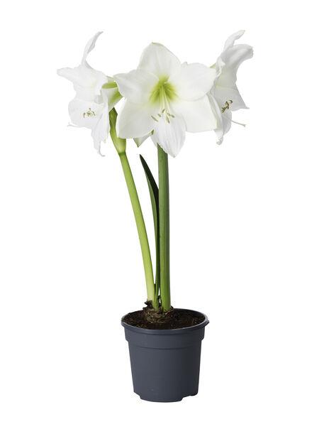 Amaryllis XXL 3-grenet 17 cm