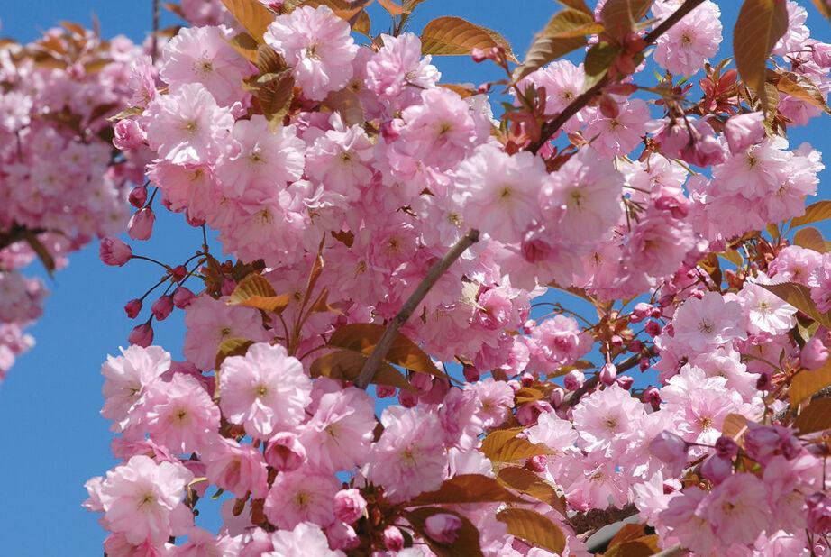 Prunus sato-zakur 'Kanzan', Høyde 120 cm, Rosa
