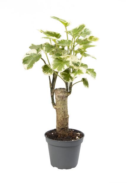 Aralia mini, Høyde 10 cm, Grønn