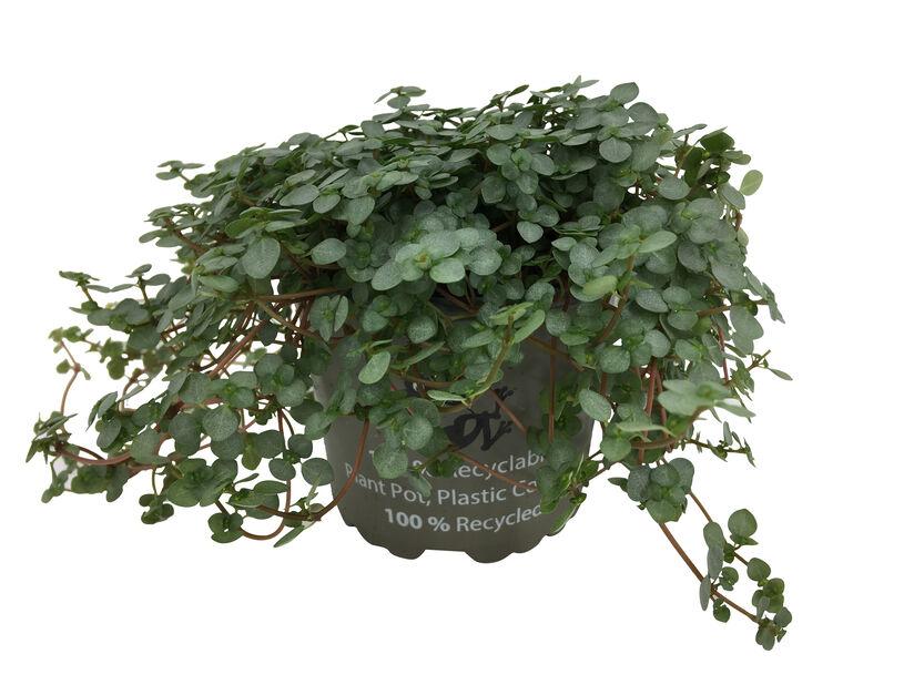 Pilea 'Greyzy' , Høyde 20 cm, Grønn