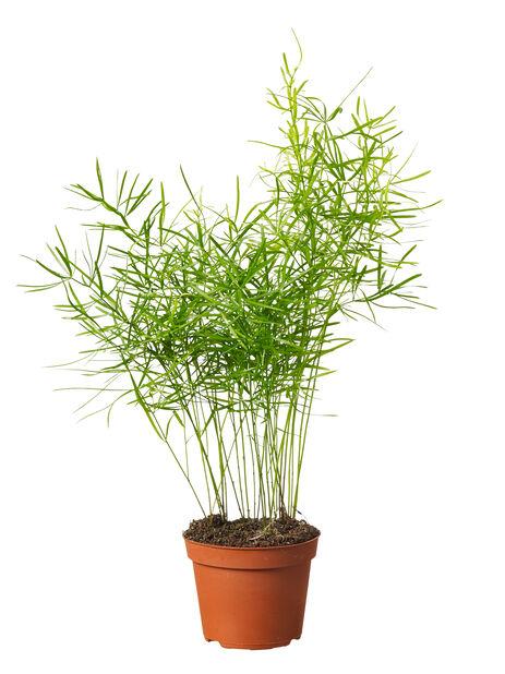 Mini grønnplante