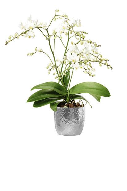 Orkidé 'Wild White', Høyde 45 cm, Hvit