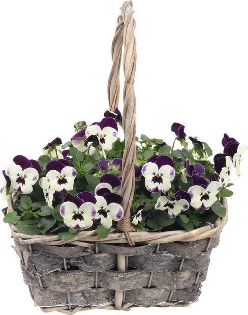Blomstergruppe stemorsblomst, Høyde 25 cm, Flere farger