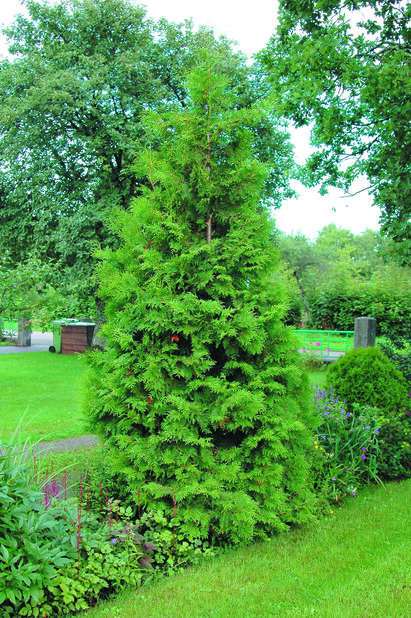 Tuja 'Brabant', Høyde 50-70 cm, Grønn