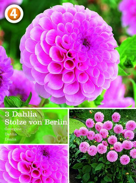 Dahlia Pompon Stolze von Berlin, Rosa