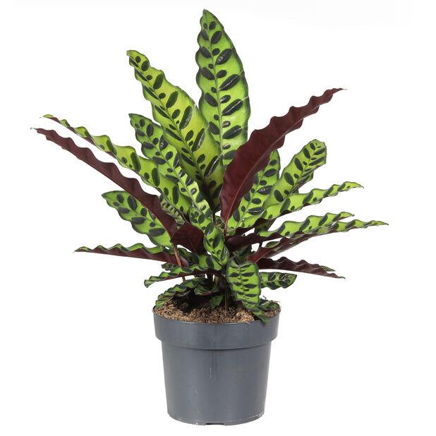 Calathea 'Insignis', Høyde 65 cm, Grønn