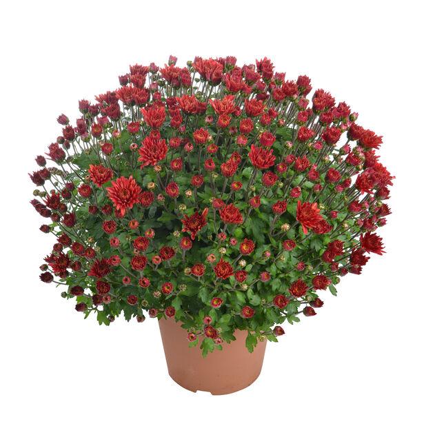 Frilandskrysantemum rød 14 cm