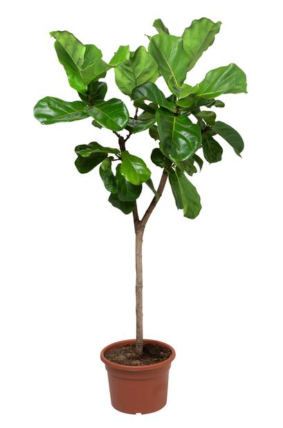 Fiolinfiken, Høyde 150 cm, Grønn