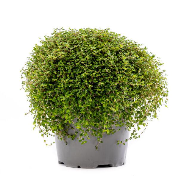 Husfred, Høyde 25 cm, Grønn