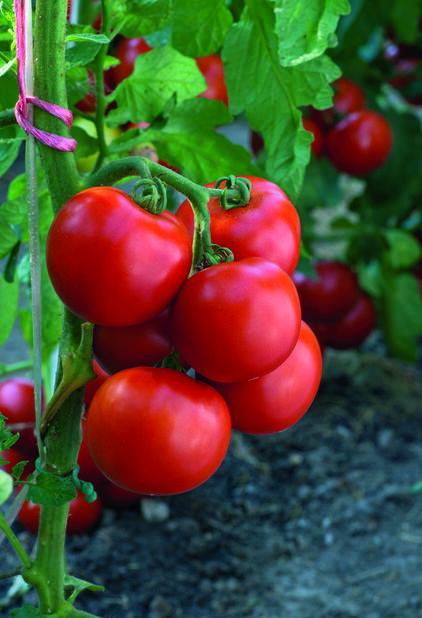 Tomat 'Torino', Ø10.5 cm, Rød