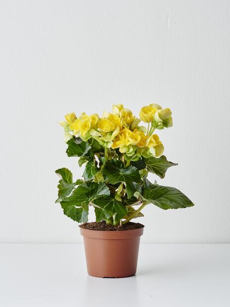 Begonia , Høyde 25 cm, Gul