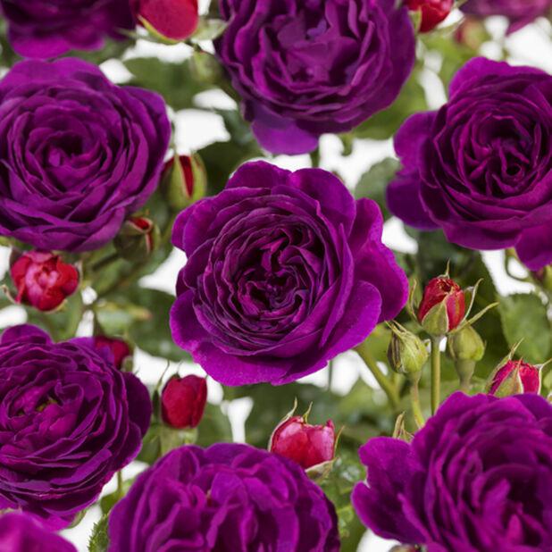 Rose 'Minerva', Høyde 50 cm, Lilla