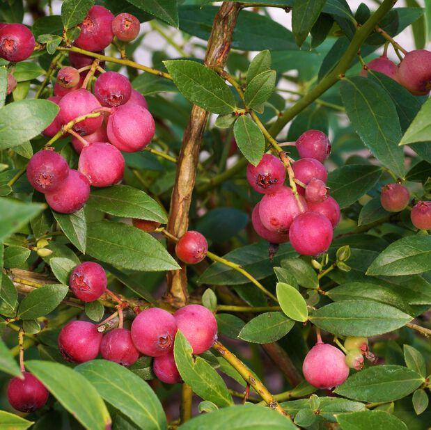 Blåbær 'Pink Marmalade', Ø12 cm, Blå