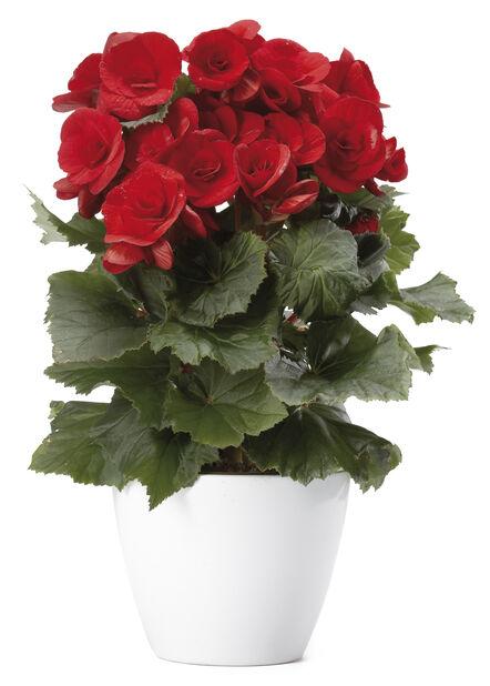 Begonia , Høyde 25 cm, Rød