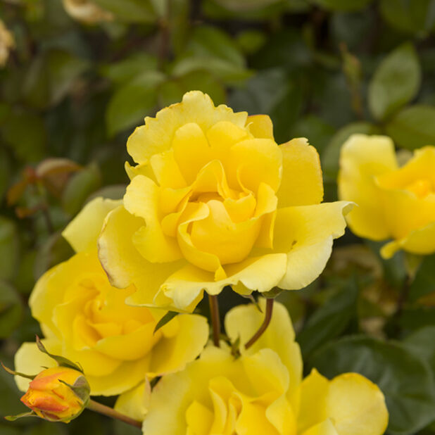 Rose 'Golden Climber', Høyde 20 cm, Gul