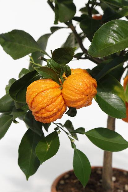 Appelsin 'Corrugata', Ø19 cm, Oransje