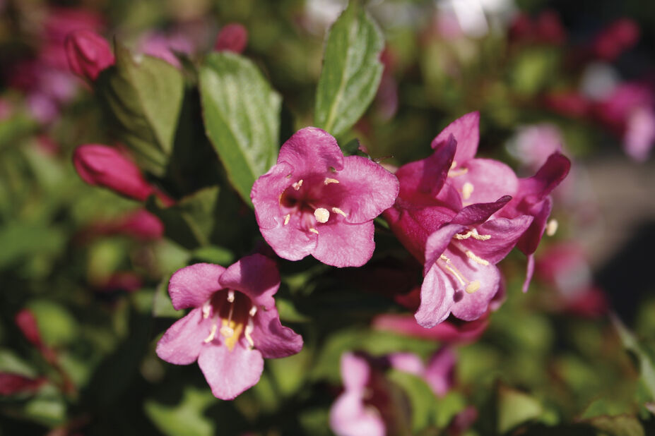Klokkebusk 'Minuet', Ø22 cm, Rosa