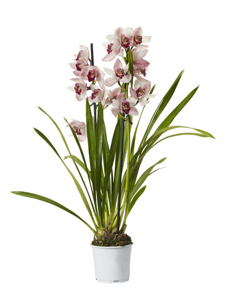 Cymbidium orkidé, Høyde 60 cm, Flere farger